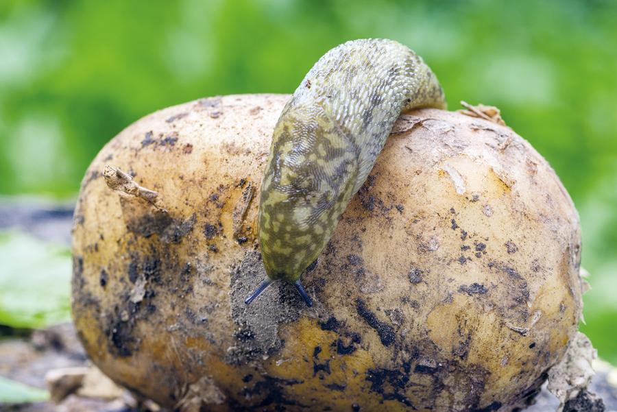 Slug control in potatoes
