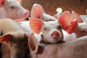 Pilgram's UK raises money for MIND Pork producers