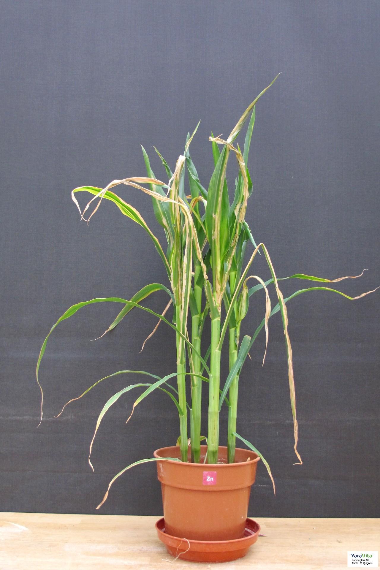 Zinc deficient maize