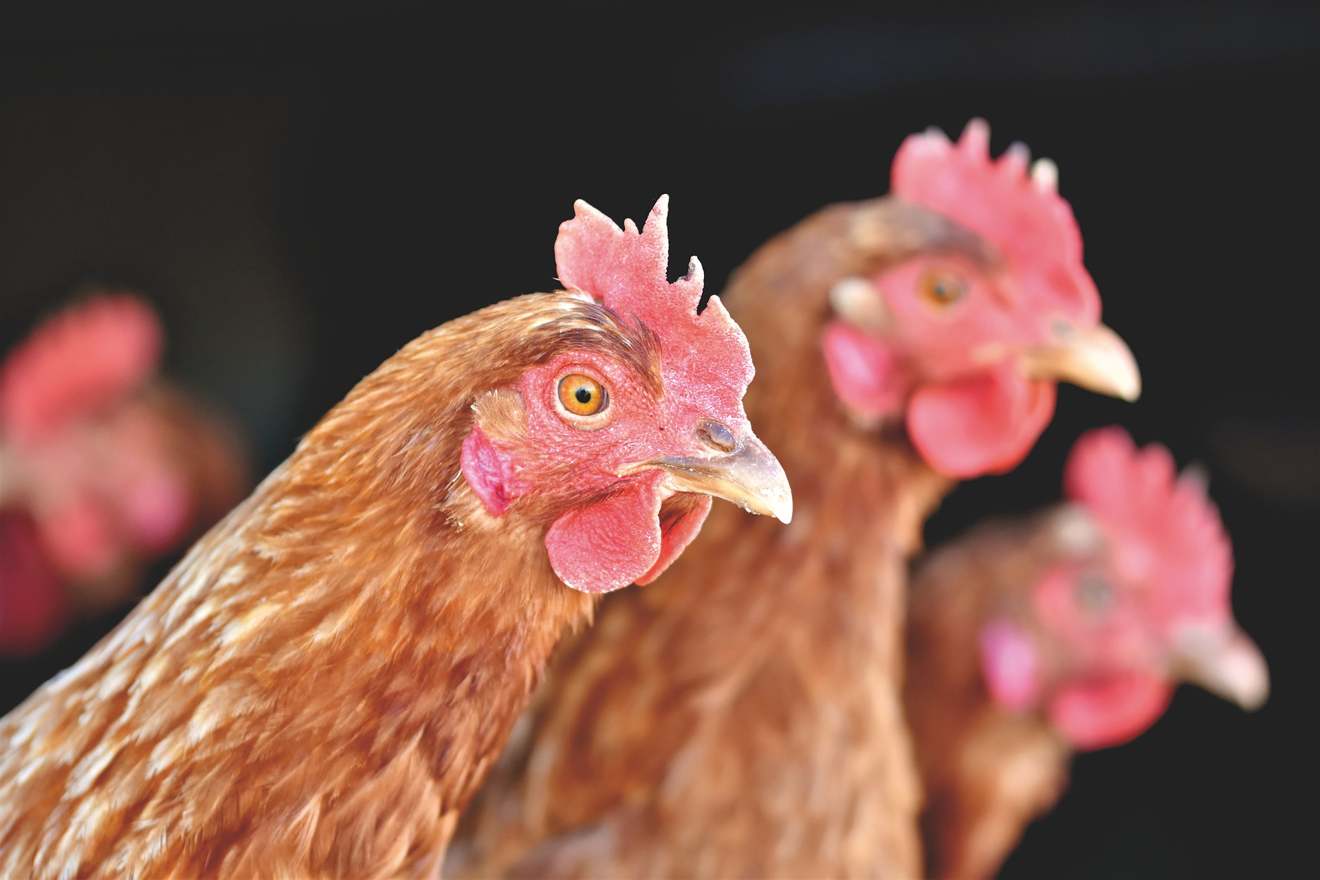 Portrait image of three hens/chickens - poultry farming.