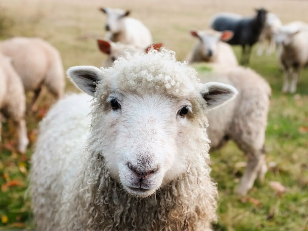 Livestock - sheep in a field.