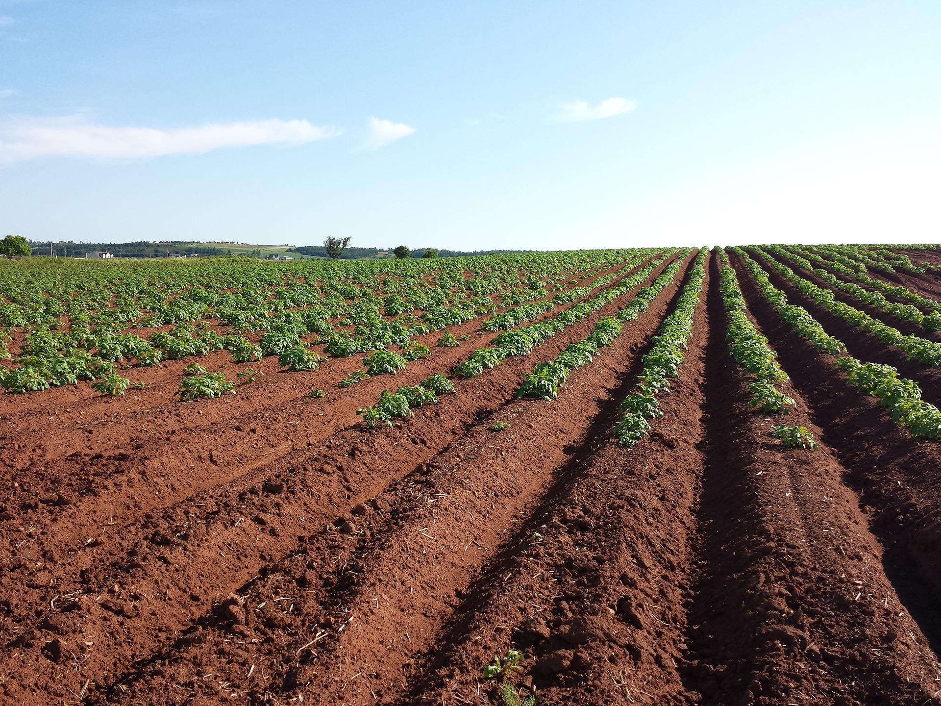 Soil - potato field with blue skies.