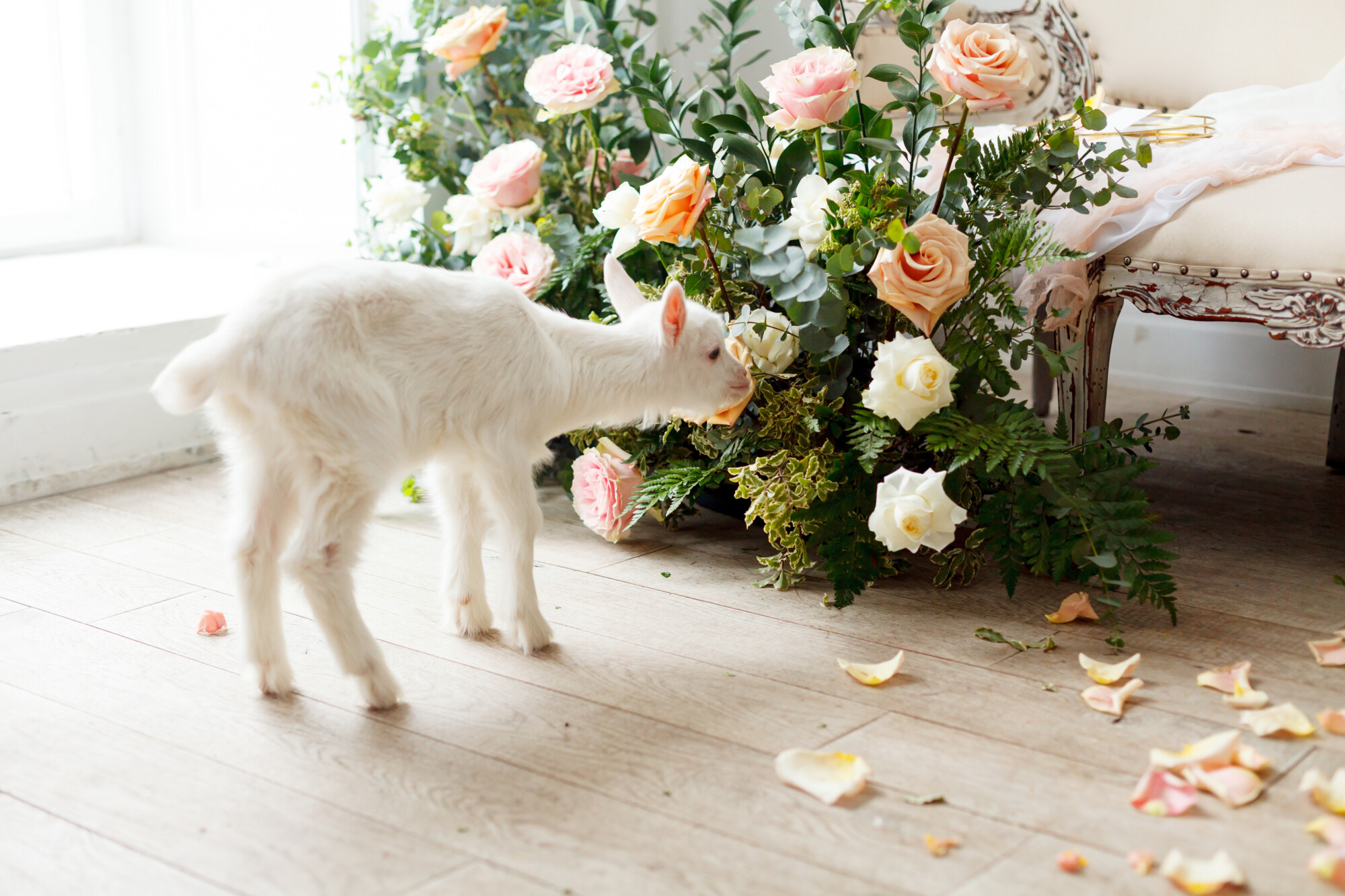 white baby goat sniffing wedding flowers with rose petals on the floor.