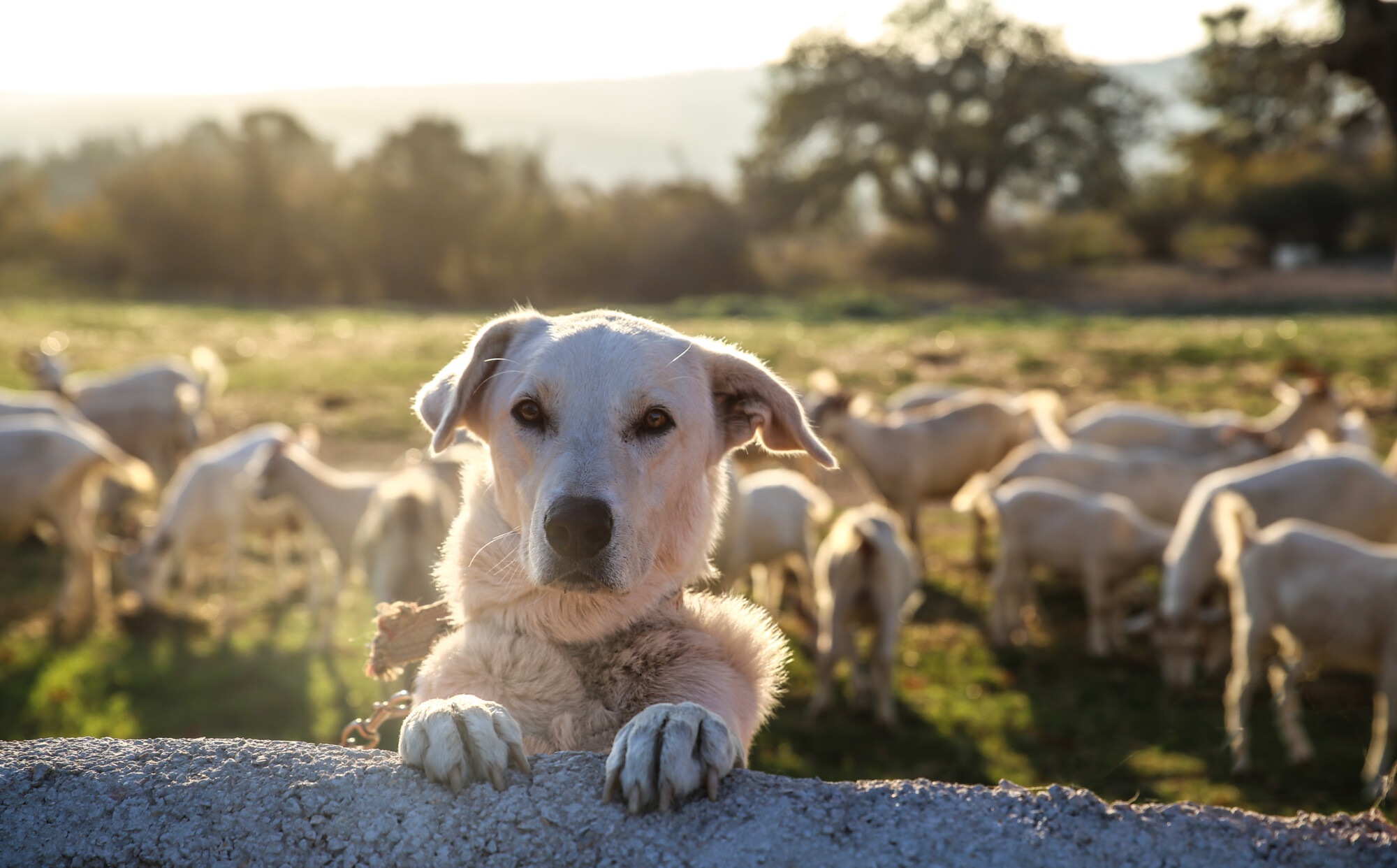 Dog in sheep field - dog thefts uk