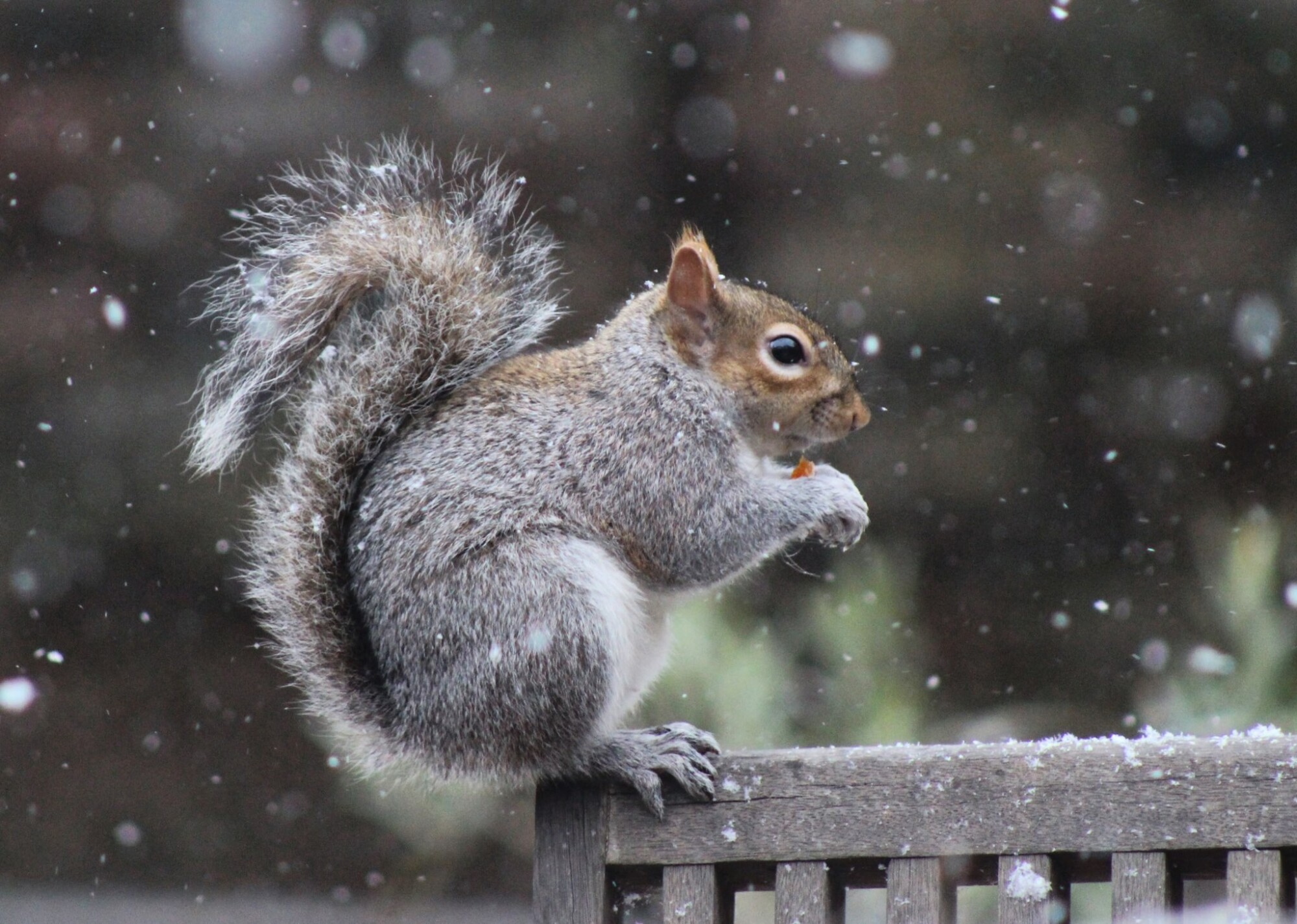 Invasive grey squirrel