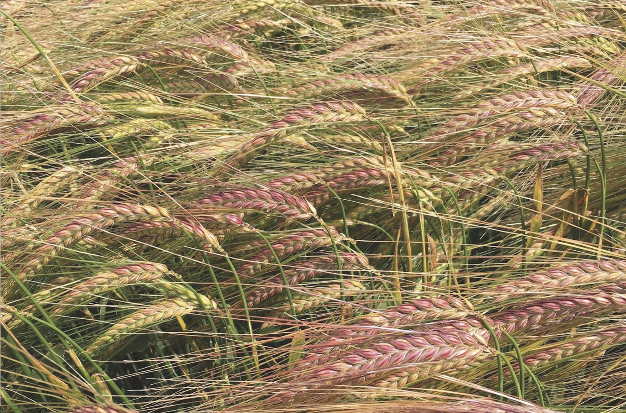 Bordeaux winter barley