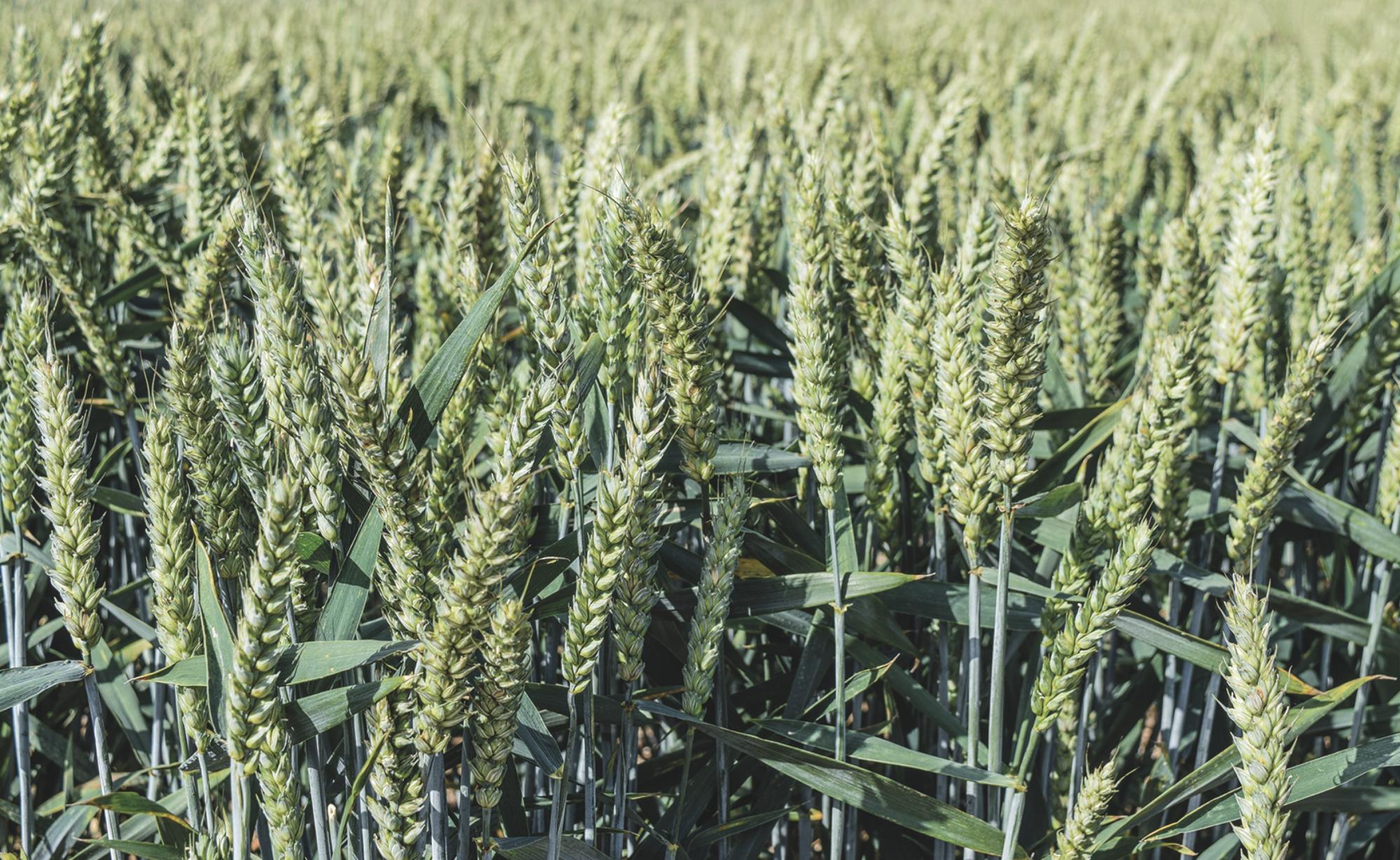 swallow winter wheat