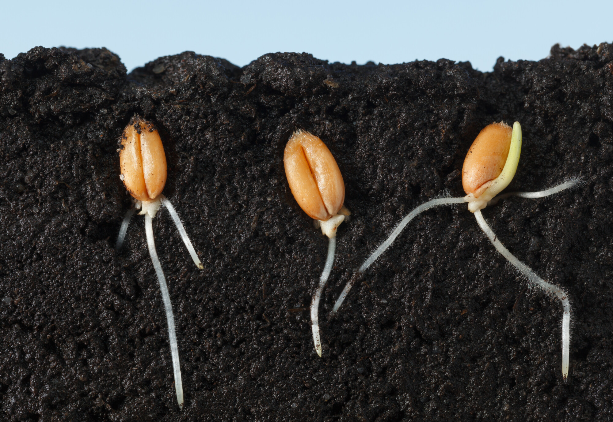 Macro side cut of three wheat kernels with first roots in dark soil.