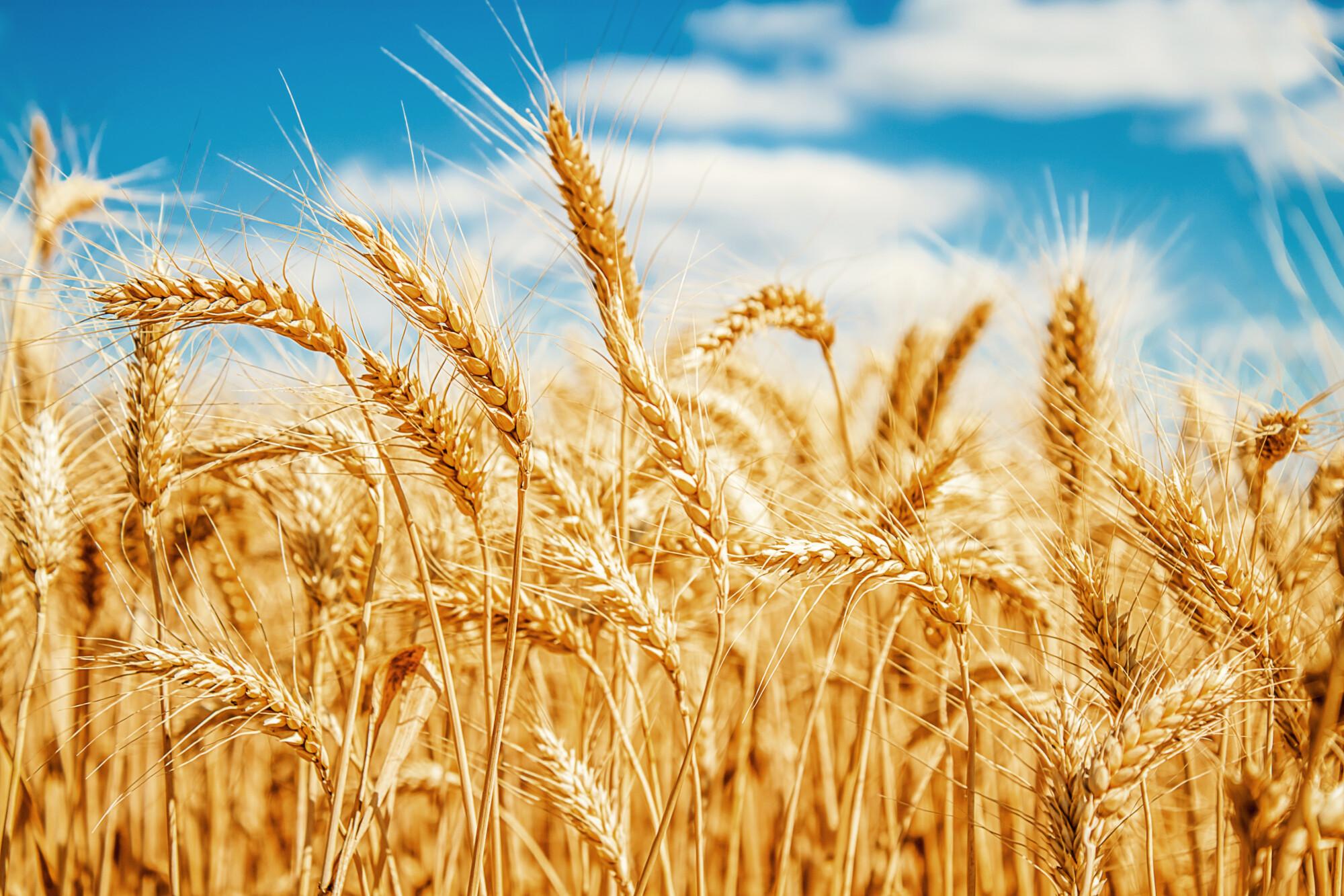 wheat field crop yields