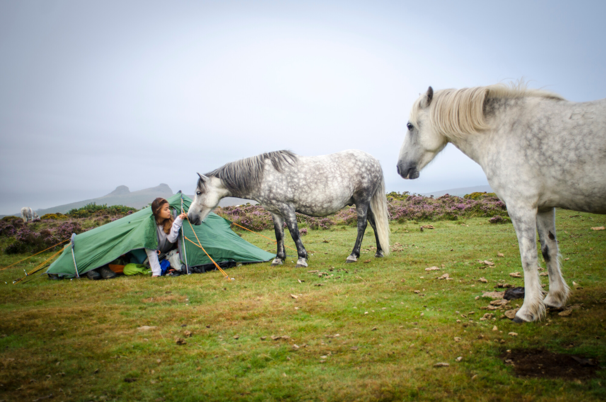farm diversification - Wild Dartmoor ponies visiting female wild camper in her tent, Devon, UK