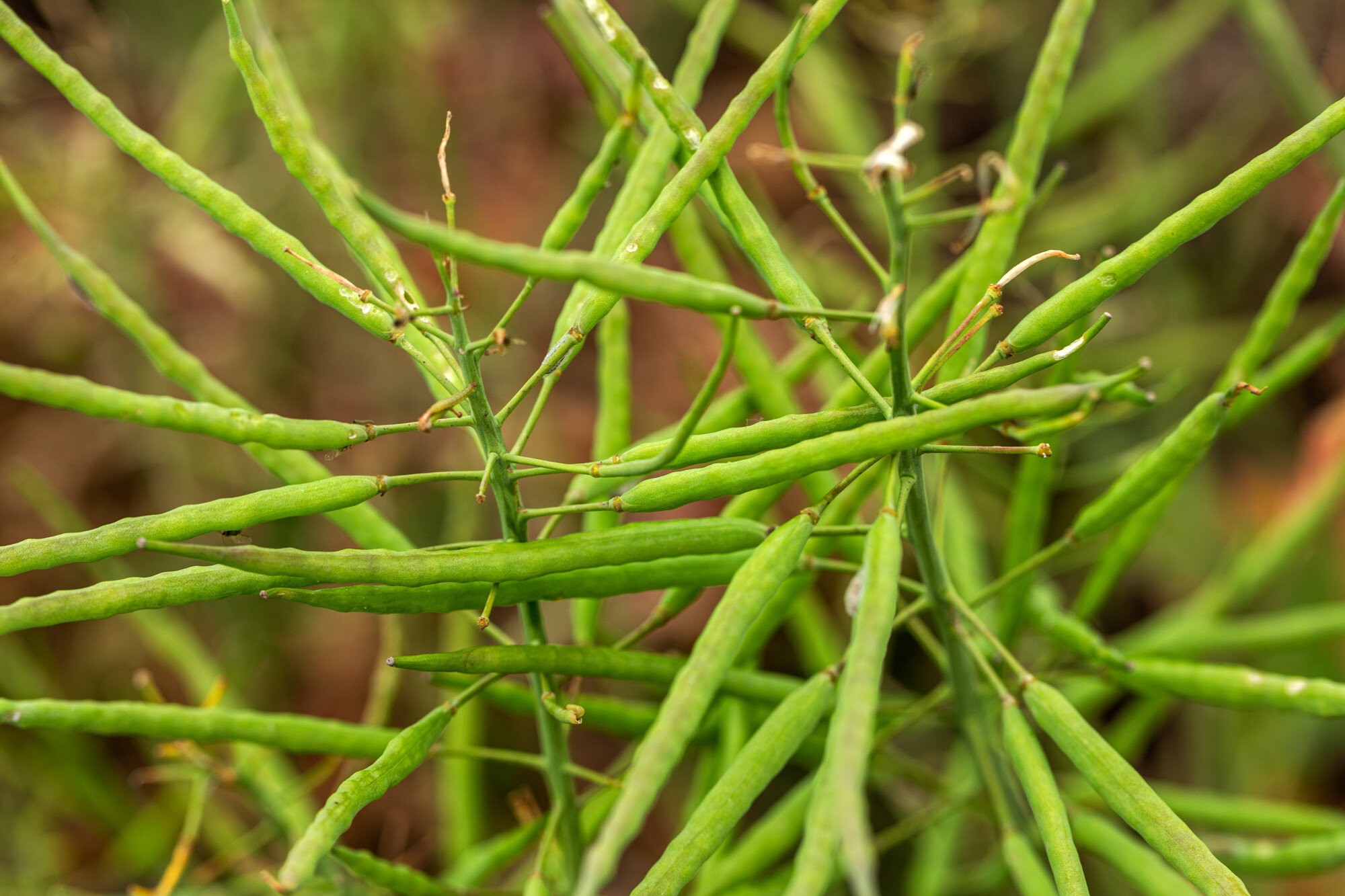 Oilseed rape spring pods
