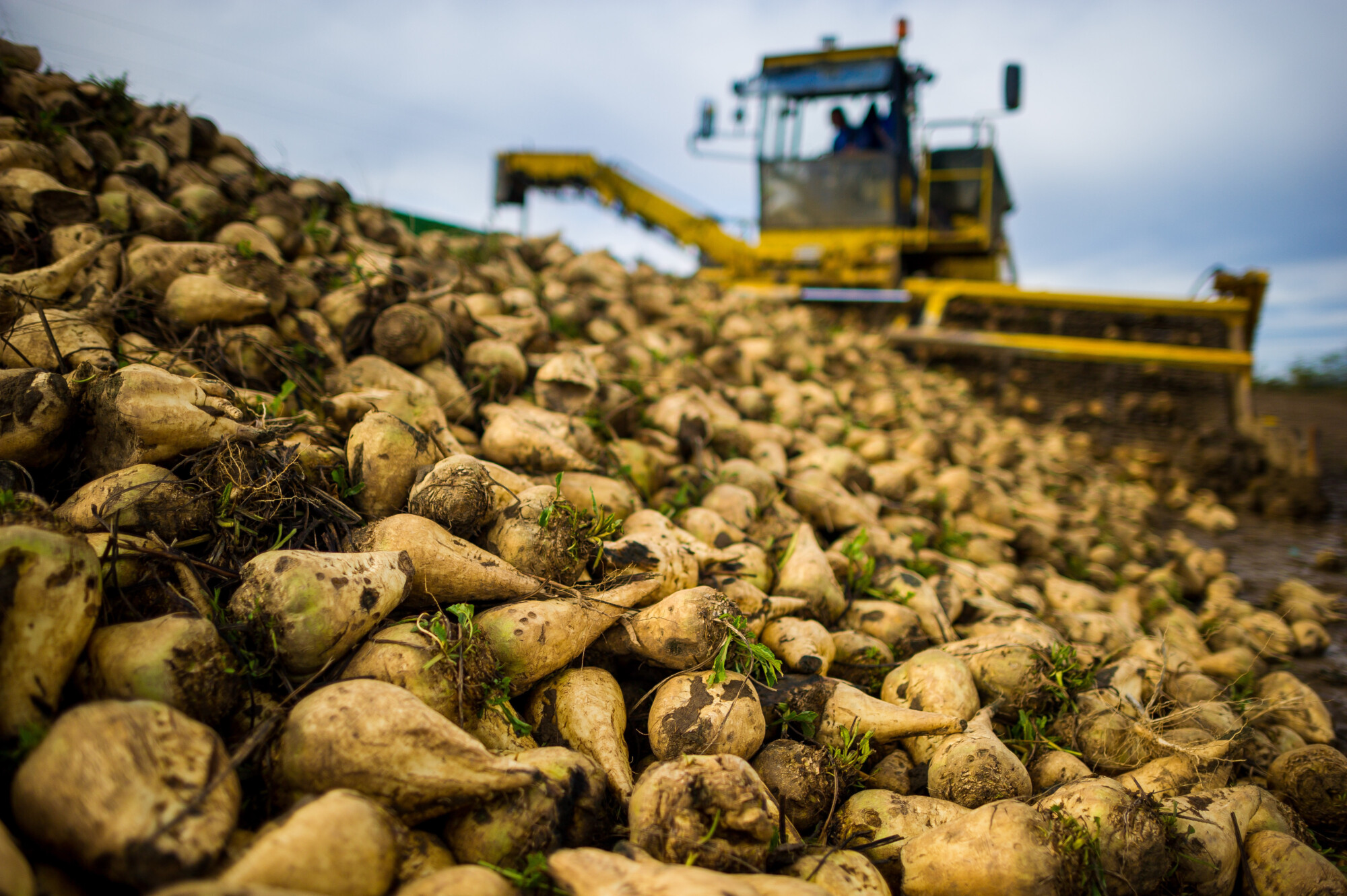 close up of sugar beet with farm vehicle in the background