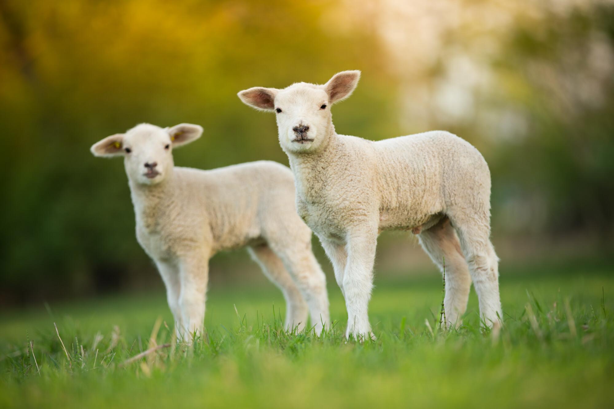 Farming bodies react as US set to accept British lamb again