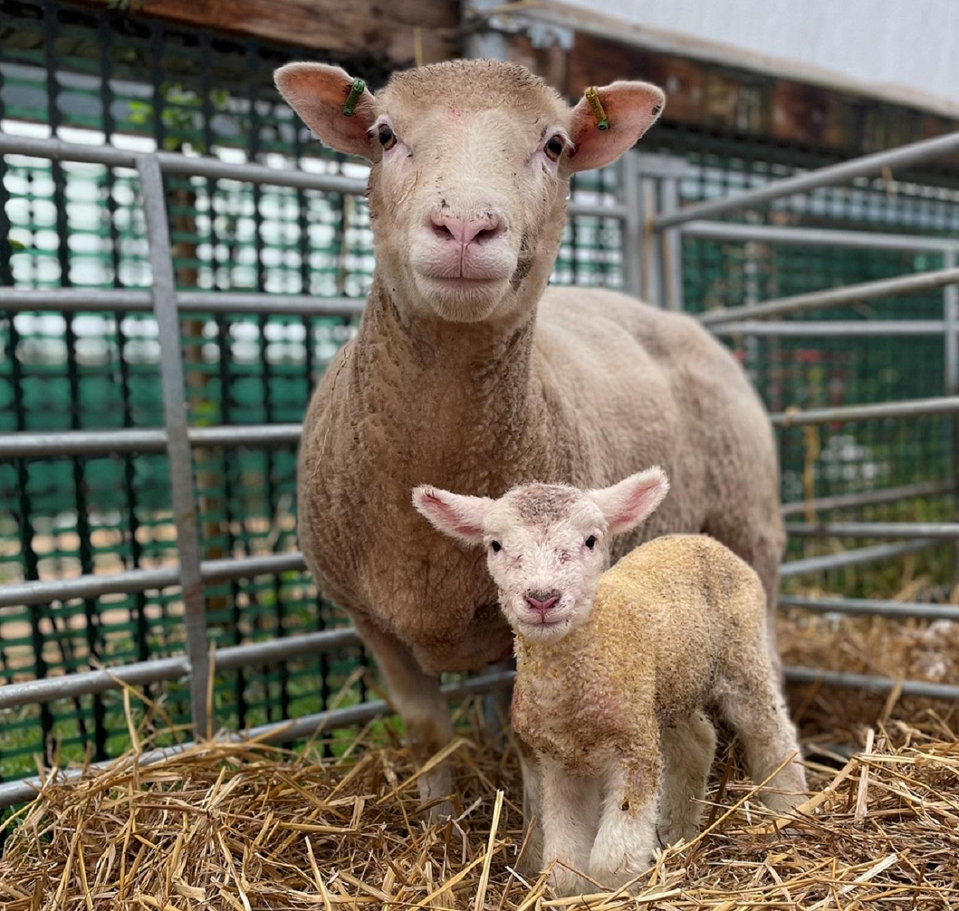 autumn lambs at Barony Farm